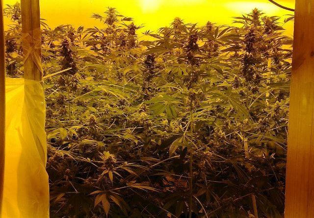 Trovate nel suo appartamento 30 piante di marijuana alte ...