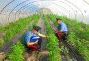 Carabinieri di Agrigento sequestrano 30 tonnellate di marijuana
